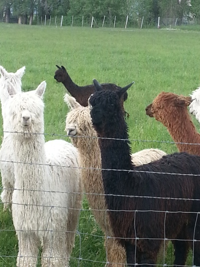 Adorable alpacas =)