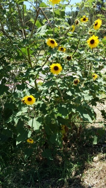 Zilker Park sunflowers